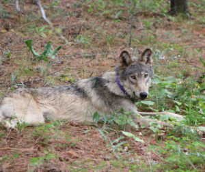 Photo of gray wolf OR-93 taken in Oregon after waking up from sedation. Photo courtesy of Austin Smith, Confederated Tribes of Warm Springs.