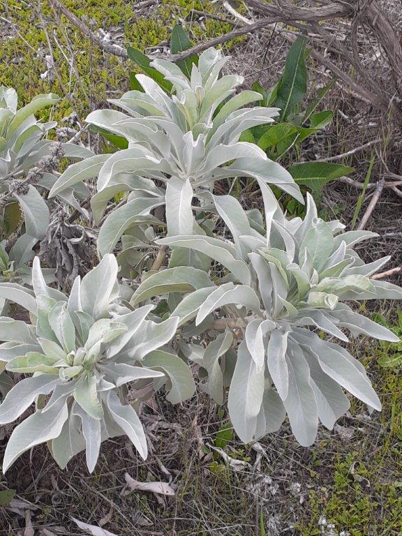 White Sage. Courtesy of Foxhollow.