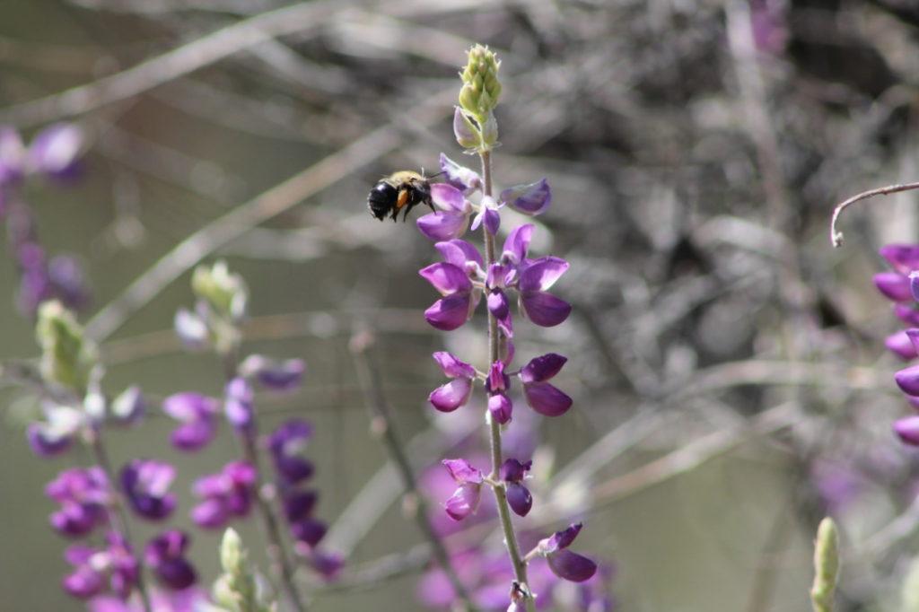 Pinnacles National Park has over 400 species of bees. Photo by Carmel de Bertaut.