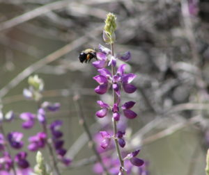 Pinnacles National Park has over 400 species of bees. Photo by Carmel de Bertaut.