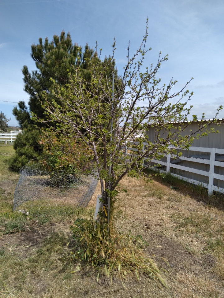 A Santa Rosa plum tree that Taddeo planted for her cousin's mom, two years ago. Photo courtesy of Barbara Taddeo.