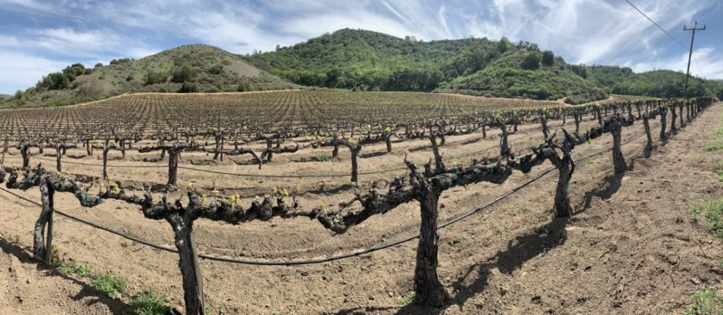 Old vines at the Vaché/Palmtag vineyard site. Photo by Robert Eliason