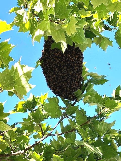 Bees. Photo courtesy of Wanda Guibert.