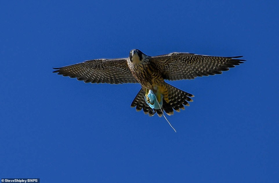 Peregrine falcon with disposal mask in talons. Photo courtesy of BNPS.