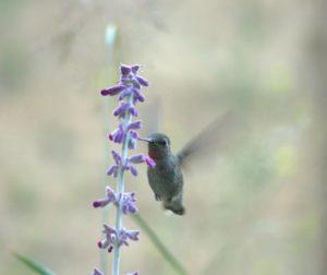 Anna's Hummingbird feeding on Mexican sage. Photo Carmel de Bertaut.