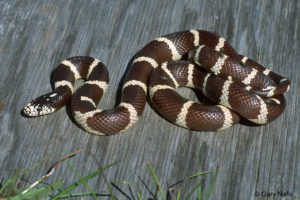 California Kingsnake. Photo credit in photo. Used by permission of CaliforniaHerpes.com.