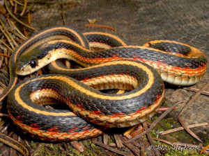 Common Gartersnake Photo credit in photo. Used by permission of CaliforniaHerpes.com.