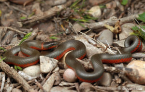 Monterey Ring-necked Snake. Photo credit in photo. Used by permission of CaliforniaHerpes.com.