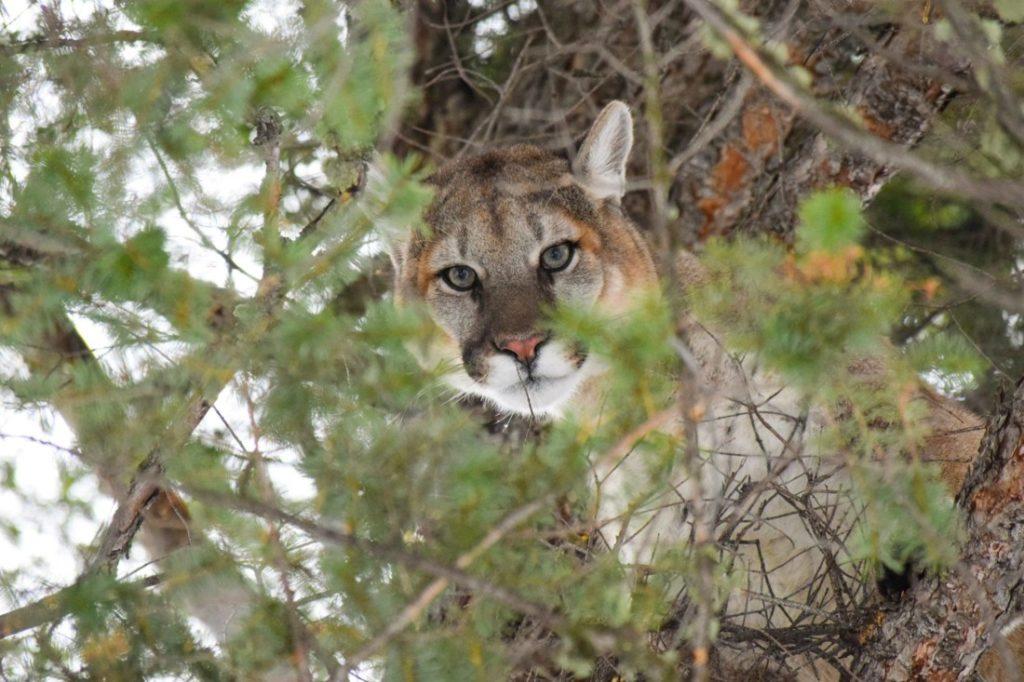 Adult mountain lion. Photo courtesy of Mountain Lion Foundation.