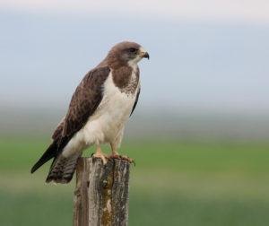 Light morph Swainson's Hawk. Photo courtesy of Steve Rottenborn.
