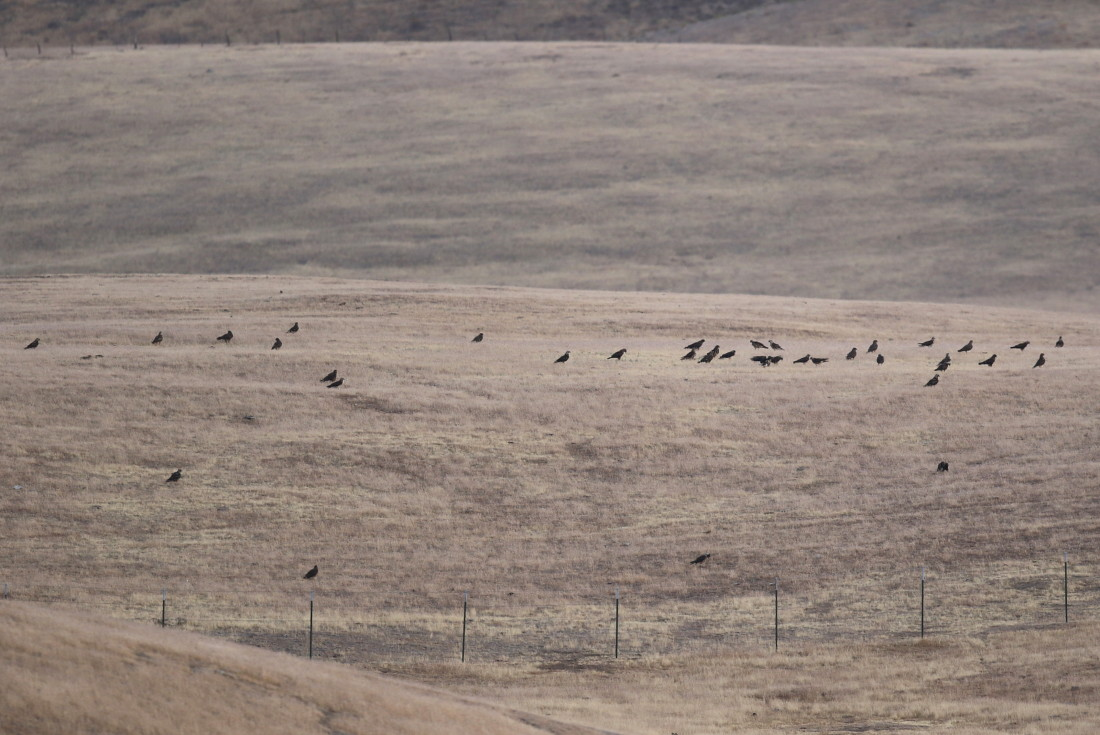 37 Swainson's Hawks amongst the Common Ravens. They are believed to be part of a flock of 107 which were found at Panoche Valley. Photo courtesy of Steve Rottenborn.